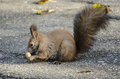 Écureuil mangeant un gland Images libres de droits