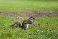 Écureuil mangeant une arachide image stock