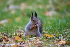 Écureuil mangeant une noix Image libre de droits