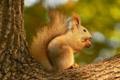 Écureuil mangeant une noix images stock