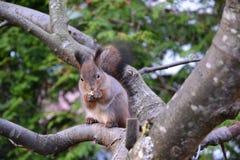 Écureuil mangeant une noix Photos stock