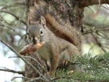 Écureuil mangeant une pomme de pin dans un arbre stock image