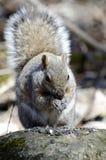 Écureuil mignon Photos libres de droits