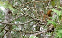 Écureuil mignon Photographie stock