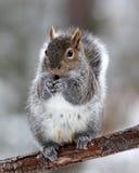 Écureuil mignon d'hiver Images libres de droits