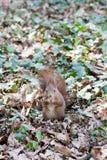 Écureuil mignon en parc de Schonbrunn, Vienne, Autriche Photographie stock