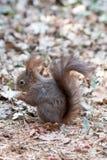 Écureuil mignon en parc de Schonbrunn, Vienne, Autriche Images stock