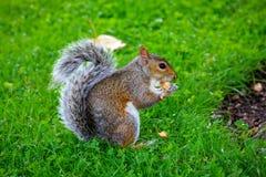 Écureuil mignon mangeant des écrous en parc Images libres de droits