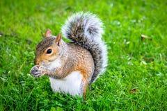 Écureuil mignon mangeant des écrous en parc Image libre de droits