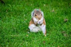 Écureuil mignon mangeant des écrous en parc Photographie stock libre de droits