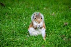 Écureuil mignon mangeant des écrous en parc Photo stock