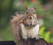 Écureuil mignon mangeant l'arachide sur la barrière Photographie stock