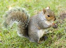 Écureuil mignon mangeant une noix images stock