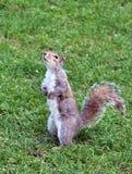 Écureuil mignon se tenant dans l'herbe Photographie stock