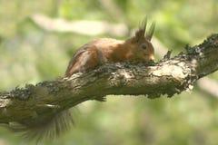 Écureuil mignon sur une branche à la nuance Image stock