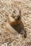 Écureuil moulu également connu sous le nom de Spermophilus dans son habitat naturel images libres de droits