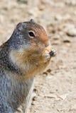 Écureuil moulu Image libre de droits