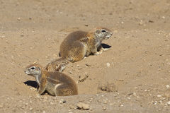 Écureuil moulu africain Photos libres de droits