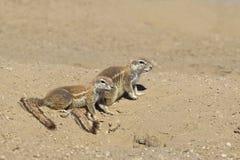Écureuil moulu africain Photographie stock