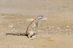 Écureuil moulu africain Images libres de droits