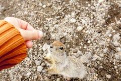 Écureuil moulu arctique demandant la nourriture des mains humaines Péninsule de Kamchatka, Russie image libre de droits