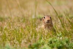 écureuil moulu bordé de treize Photos libres de droits