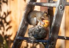 Écureuil moulu californien se régalant d'une pêche images stock