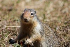Écureuil moulu colombien Images libres de droits
