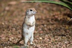 Écureuil moulu coupé la queue rond Photos libres de droits