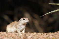 Écureuil moulu coupé la queue rond Photo libre de droits