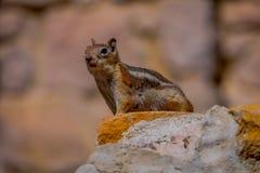 Écureuil moulu D'or-enveloppé en Bryce Canyon National Park, Utah image libre de droits