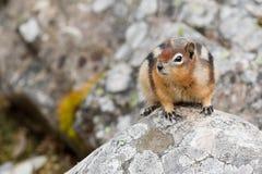 écureuil moulu D'or-enveloppé, lateralis de spermophilus Image stock