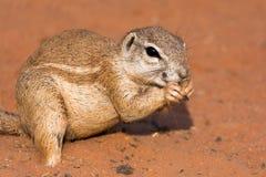 Écureuil moulu dans le désert rouge Image libre de droits