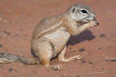 Écureuil moulu dans le désert rouge Photo libre de droits
