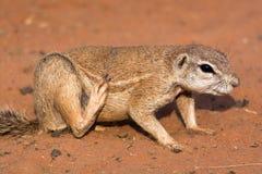 Écureuil moulu dans le désert rouge Photos libres de droits