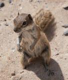 Écureuil moulu de Barbarie Photo libre de droits