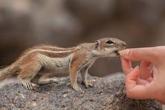 Écureuil moulu de Barbarie mangeant du getulus d'atlantoxerus de main, Fuerteventura, Îles Canaries Images libres de droits