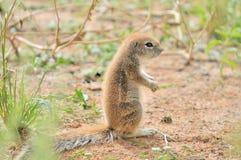 Écureuil moulu de cap Photographie stock libre de droits