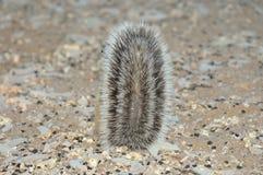 Écureuil moulu de cap se cachant derrière la queue Images stock