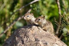 Écureuil moulu de la Californie, beecheyi d'Otospermophilus Photos libres de droits