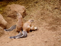 Écureuil moulu de trois caps Photos libres de droits