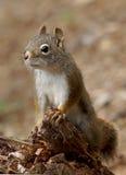 Écureuil moulu enveloppé d'or - lateralis de Callospermophilus image libre de droits