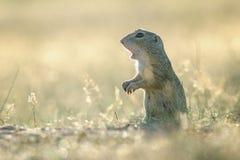 Écureuil moulu européen avec la bouche ouverte Image libre de droits