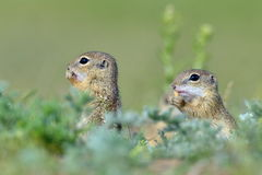 Écureuil moulu européen (citellus de Spermophilus) - jeune image libre de droits
