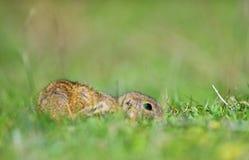 Écureuil moulu européen mignon sur le champ et le x28 ; Citellus& x29 de Spermophilus ; Photographie stock
