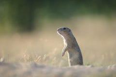 Écureuil moulu européen se tenant au sol Photo libre de droits