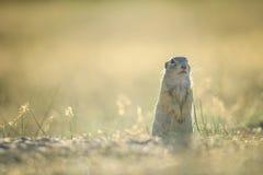 Écureuil moulu européen se tenant au sol avec l'herbe jaune d'été Photographie stock libre de droits