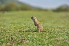 Écureuil moulu européen se tenant dans l'herbe Citellus de Spermophilus Images libres de droits