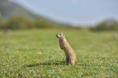 Écureuil moulu européen se tenant dans l'herbe Citellus de Spermophilus Photographie stock