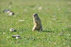 Écureuil moulu européen se tenant dans l'herbe Citellus de Spermophilus Image stock